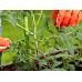Провод садовый для подвязки растений Bradas 30 м с резаком