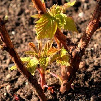 Голландцы вывели новый сорт малины для жаркого климата