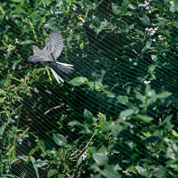 Как защитить голубику от птиц?