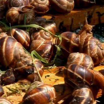 В Украине начали производить экзотический деликатес - улиточную икру