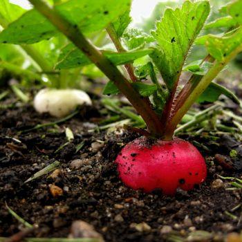 Органическое удобрение Вермисол. Способы и нормы внесения